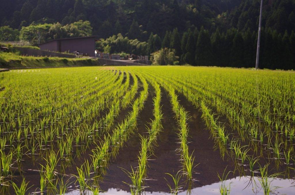 riz, plantation de riz, usd