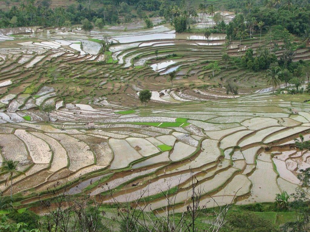 champs de riz, mitoyenne, terrasse