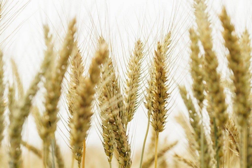 plante, blé, paille